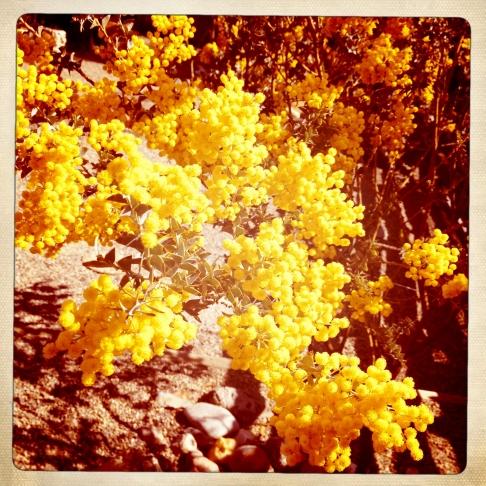 yellow.acacia.close