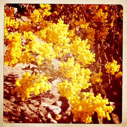 yellow.acacia.close
