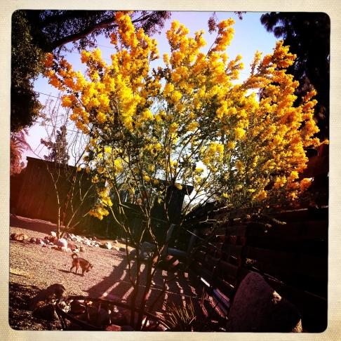 yellow.acacia