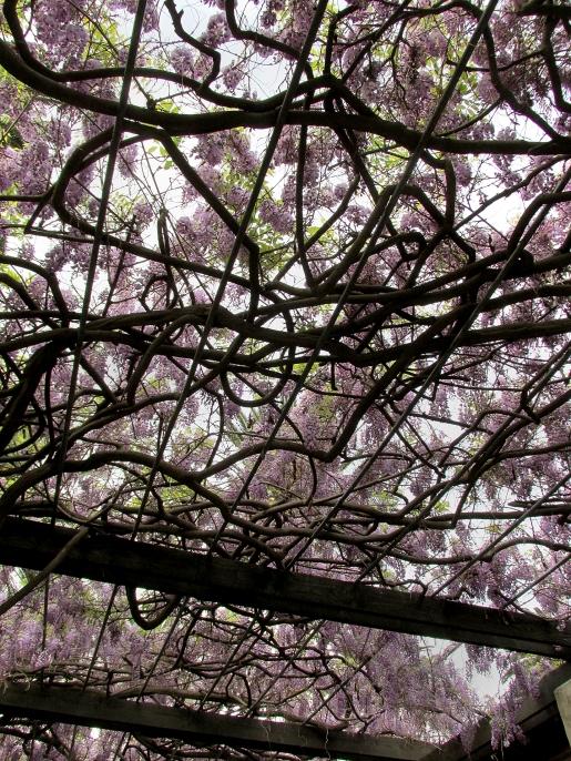 wisteriaup